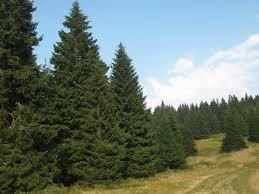 A fenyőfa jelentősége