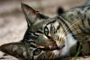 Orijen macskatáp